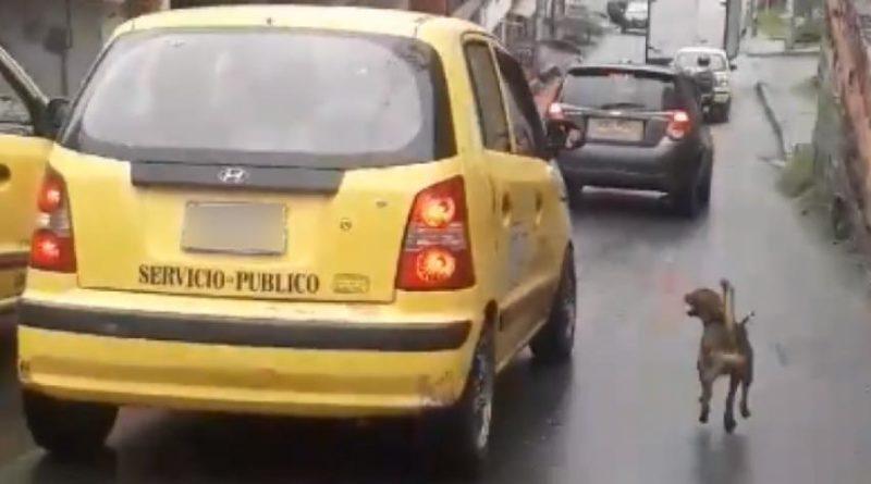 Adoptado por ciudadano perro que persiguió por 20 cuadras un taxi en Medellin